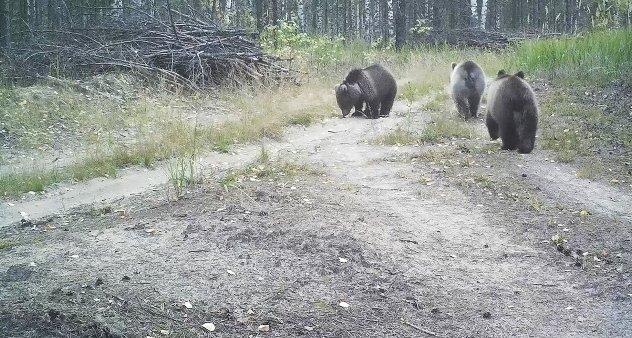 Медведицу Керженского заповедника подозревают в усыновлении медвежат - фото 1