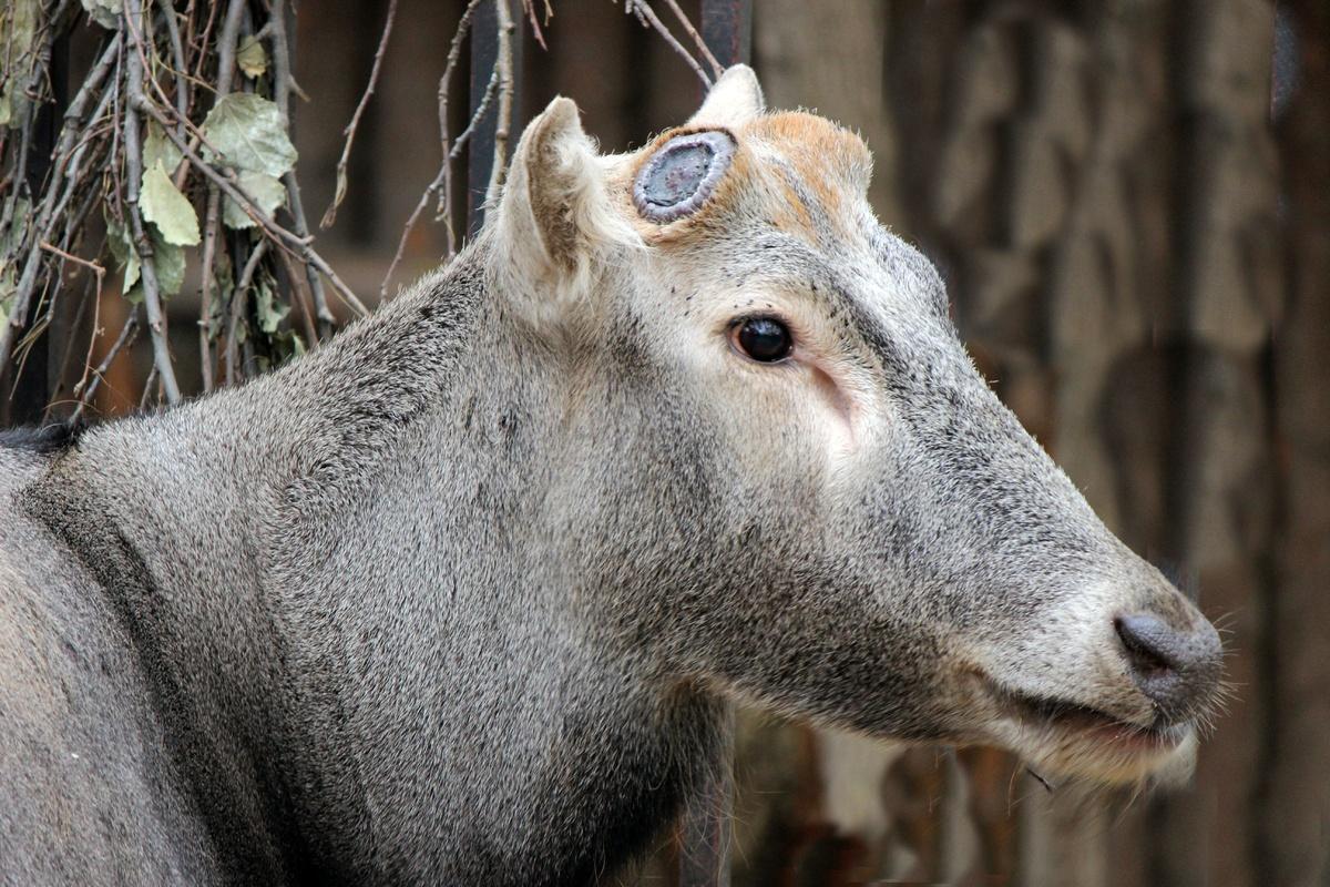Тор из нижегородского зоопарка снова расстался с рогами - фото 1