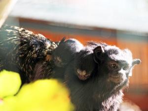 Краснорукие тамарины родились в нижегородском зоопарке