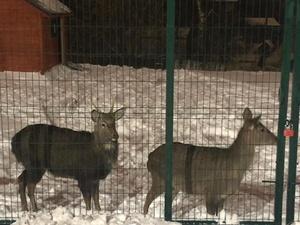 Поиском сбежавшего оленя занялся нижегородский Госохотнадзор