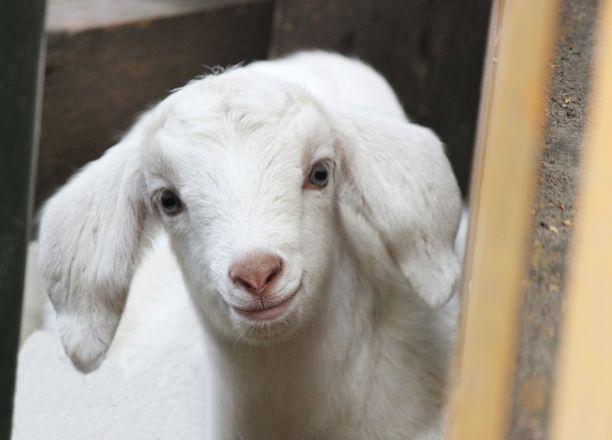 Белые козлята появились на свет в нижегородском зоопарке - фото 2